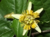 passiflora-coriacea-cr-x-albert-100806_3