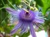 passiflora-emma