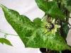 passiflora-manta-x-coriacea-cr-100804_3