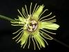 passiflora-manta-x-megacoriacea-1-100909_1