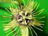 passiflora-manta-x-megacoriacea-100804