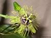 passiflora-manta-x-megacoriacea-100804_1