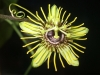 passiflora-manta-x-megacoriacea-100825_1