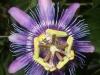passiflora-amethystina-hybride-081012_2