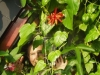passiflora-balkon