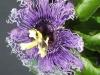 passiflora-byron-beauty-hybride-080624