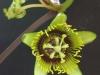 passiflora-coriacea-070619_3k