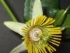 passiflora-coriacea-cr-081012