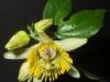 passiflora-coriacea-cr-081012_1