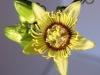 passiflora-coriacea_070324_g