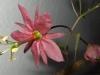 passiflora-flying-v-080408_1