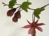 passiflora-flying-v-080413_1