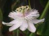 passiflora-foetida-060726_2