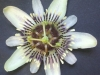 passiflora-indecora-090713