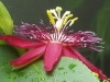 passiflora-lady-margaret_060714_2k