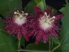 passiflora-lady-margaret_060714_3