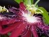 passiflora-lady-margaret_060714_4