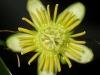 passiflora-megacoriacea-080823
