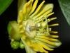 passiflora-megacoriacea-080823_2