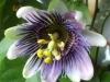 passiflora-xbelotii_070611_1