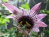 passiflora-xviolacea-atropurpurea-070504_1