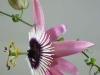 passiflora-xviolacea-atropurpurea-070504_7