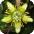 Motiv Passiflora 'Albert'