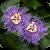 Motiv Passiflora 'Temptation'