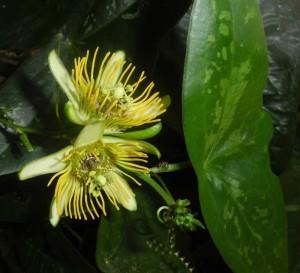 Passiflora 'Albert' öffnet zuverlässig wie jeden August ihre 5 cm großen Blüten.