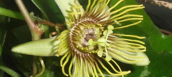 Passiflora-coriacea-cr-x-Albert-2