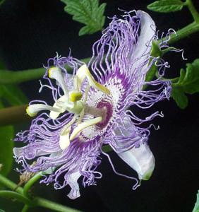 Der Wirkstoff von Passiflora gegen Stress wird aus dem Laub der Passiflora incarnata gewonnen.