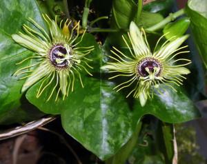 Passiflora Mantega blüht doppelt
