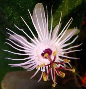 Passiflora amalocarpa