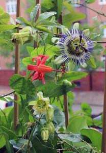 Passiflora Sommer: Passiflora biflora, Passiflora caerulea und Passiflora murucuja blühen heute.