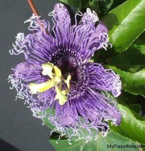 Passiflora Byron Beauty Hybride