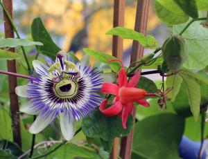 Passiflora Sommer: Passiflora caerulea und Passiflora murucuja bilden einen schönen Farbkontrast.
