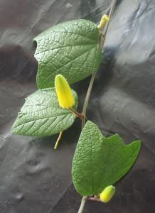 Passiflora citrina Knospen