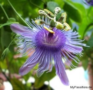 Passiflora 'Emma'