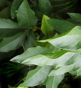 Laub der Passiflora incarnata