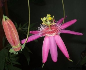 Passiflora 'Grand Duchess'