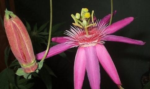 Passiflora 'Grand Duchess'