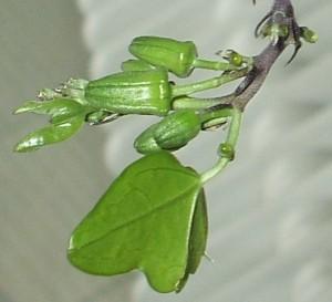 Passiflora 'Manta' Knospen