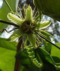 Passiflora 'Mantega' Blüte