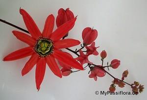 Passiflora racemosa bildet rote Blütentrauben!