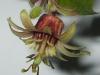 passiflora-coconnyci-100513_0