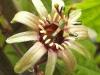 passiflora-coconnyci-100513_2
