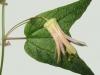 passiflora-conny-x-citrina_080827
