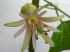 passiflora-conny-x-citrina_080907