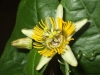 passiflora-coriacea-cr-x-albert-100806_2