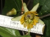 passiflora-coriacea-cr-x-albert-100806_m